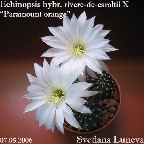 Echinopsis rivere-de-caraltii