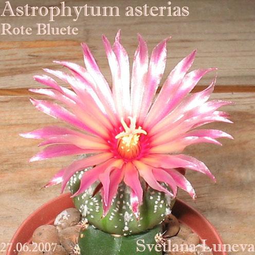 Astrophytum asterias Rote Bluete
