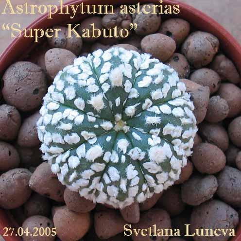"""Astrophytum asterias """"Super Kabuto"""""""