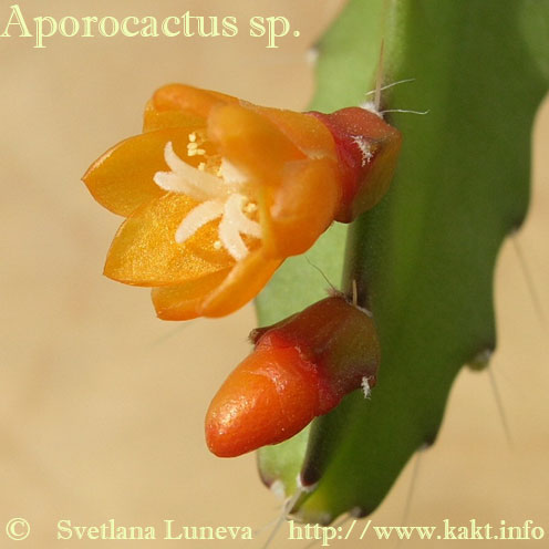 Aporocactus mix