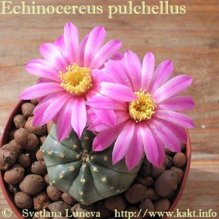 Echinocereus: Ароматно-колючее великолепие. Часть 2. С чего начать?