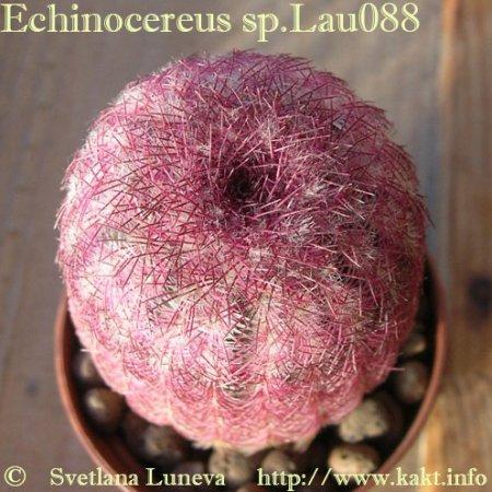 Echinocereus: Ароматно-колючее великолепие. Часть 1. Роковое влечение.