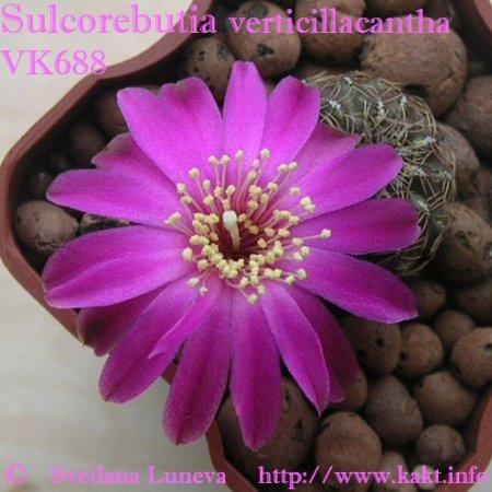 Sulcorebutia verticillacantha VK688