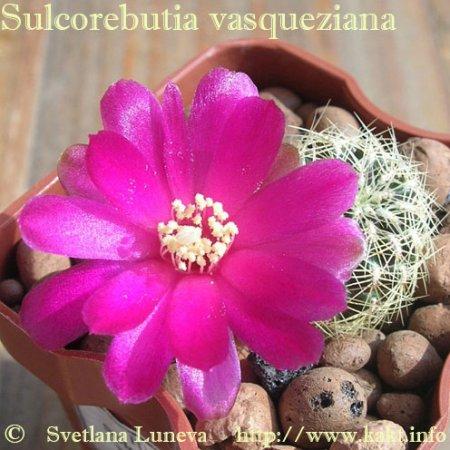 Sulcorebutia vasqueziana