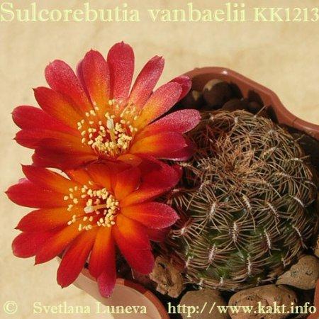 Sulcorebutia vanbaelii KK1213
