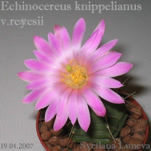 Echinocereus knippelianus v.reyesii