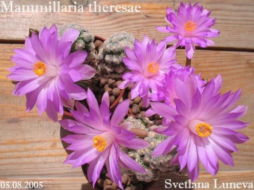 Mammillaria theresae: Невозможно? Сложно? Просто?