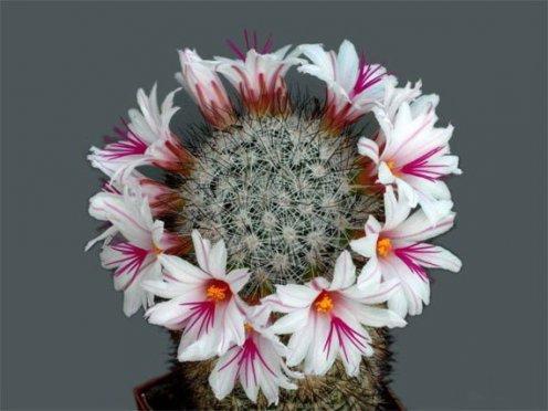 Цветение кактусов