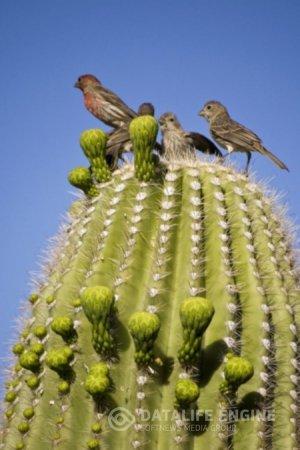Любопытные факты из жизни кактусов.