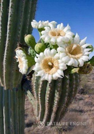 Несколько полезных советов по содержанию кактусов.