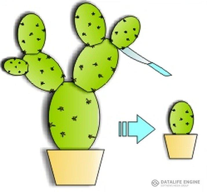 Как размножается кактус в домашних условиях
